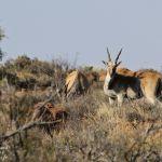 Eland du Cap - Karoo