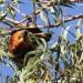 La Roussette noire, chauve-souris endémique de Maurice